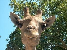 Прикольная аватарка жираф